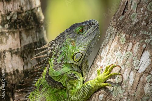 Photo  green iguana gets a side profile shot