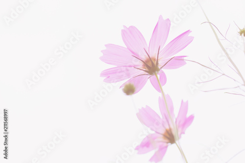Recess Fitting Floral woman Pastel pink of cosmos flower