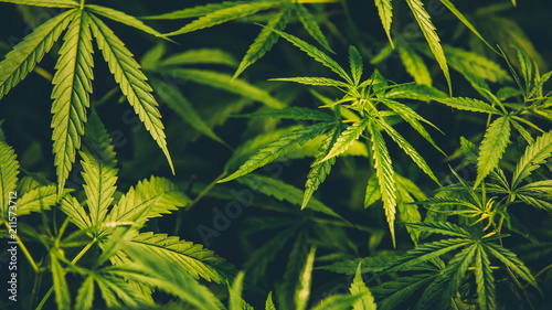 Cuadros en Lienzo Cannabis background.