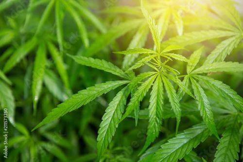 Fotografía  Cannabis background. Blue Dream Cannabis Flower.