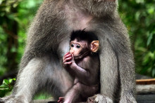 Portrait Of A Monkey (mother) Taking Care Of His Baby. Concept: Family, Nature, Animals