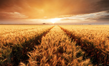 Landscape With Wheat Field, Ag...