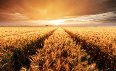 Fototapeta Landscape with wheat field, agriculture - panorama