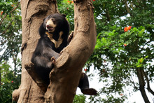 A Bear Is Resting On A Tree Br...