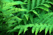 canvas print picture - Beautyful ferns leaves green foliage natural floral fern background in sunlight.