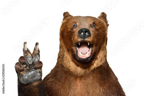 Fototapeta premium Portret zabawny niedźwiedź brunatny przedstawiający gest pokoju, na białym tle na białym tle