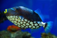 Clown Triggerfish, Spotted Tri...