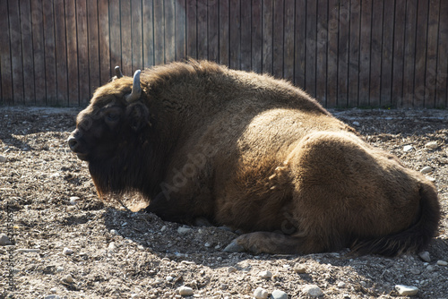 Foto op Aluminium Buffel The European BISON is in the aviary of the zoo