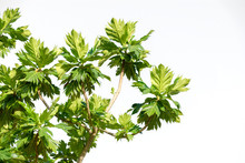 Leafs In White Background..Breadfruit Branch And Leafs Isolated On White Background And Copy Space On The Right Side, Low Angle View.