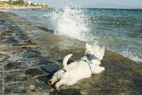 Fototapeta west highland white terrier on the shore of the summer sea obraz