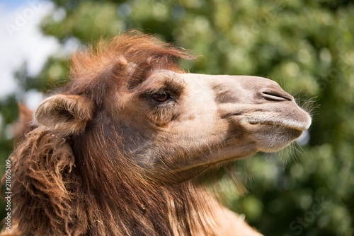 Funny brown camel