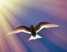 Young River Tern (Sterna Hirundo) Flying