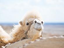 Hairy Camel In Desert