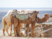 Caravan Of Camels Taking Rest
