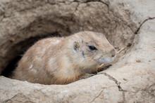 A Prairie Dog (cynomys Ludovic...