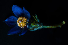 A Flower Of Blue Color On A Black Background