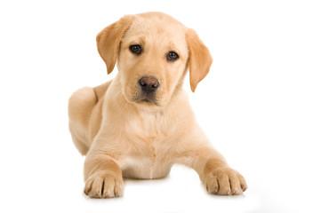 Liegender Labrador Retriever Welpe isoliert auf weißem Hintergrund