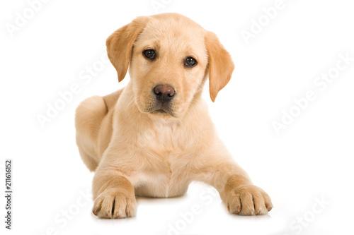 obraz lub plakat Liegender Labrador Retriever Welpe isoliert auf weißem Hintergrund
