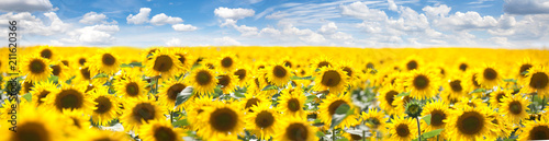 Spoed Foto op Canvas Zonnebloem Summer Landscape of Golden Sunflower Field