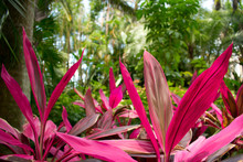 Tropical Garden With Palms, Pink Hawaiian Ti Plant, Cordyline Rouge.