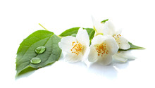Branch Of Blooming Jasmine On ...