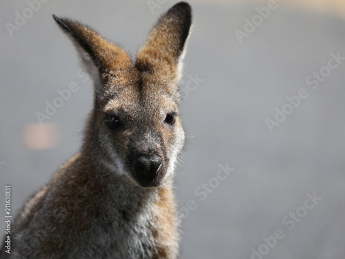 Tuinposter Kangoeroe Känguru2