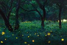 Bokeh Light Of Firefly In Forest