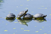 Turtles Are Resting On A Tree Trunk In A Pond