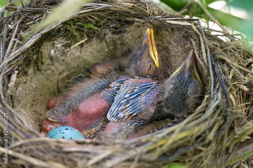 Fotografia  Singdrossel Nest zwischen Weinblättern mit 2 Küken und Ei 2