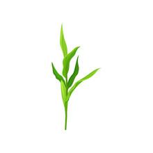 Green Corn Stalk Vector Illust...