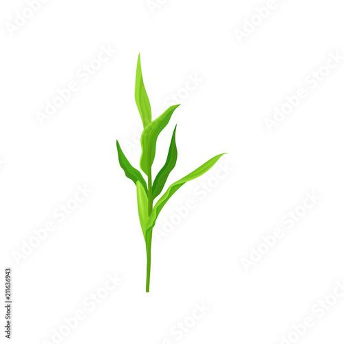 Obraz Green corn stalk vector Illustration on a white background - fototapety do salonu