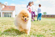 Portrait Of Cute Fluffy Puppy Running Towards Camera On Green Lawn With Children Playing In Background, Copy Space