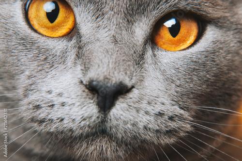 Wall Murals Hand drawn Sketch of animals Grey gray Cat yellow eyes macro photo. Cat face close up. British fold.