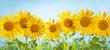 Leinwandbild Motiv Sunflower field