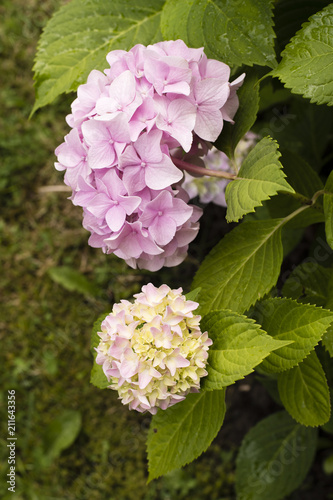 Deurstickers Hydrangea Pink flower hydrangea and green leaves.
