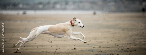 Whippet at the Beach Canvas Print