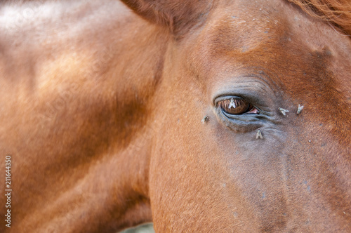 Canvas Prints Horses Close up of a horses eye with flies on it