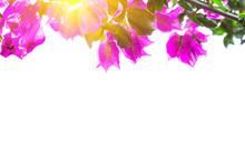 Purple Bougainvilleas Isolated...