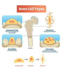 Vector Illustration Bone Cell ...