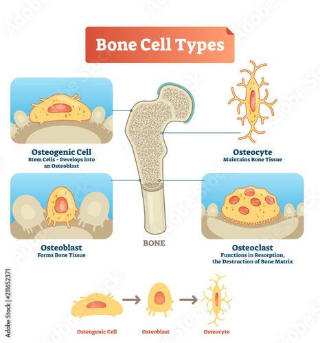 Fotografía Vector illustration bone cell types diagram