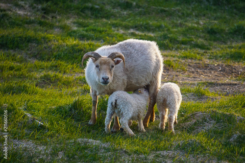 Fotografering  Sheep family in Hofn, Iceland