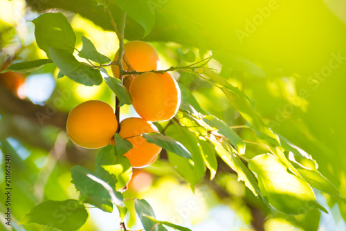 Ripe Sweet Apricot Fruits on Branch among Green Leaves at Warm Sunny Day
