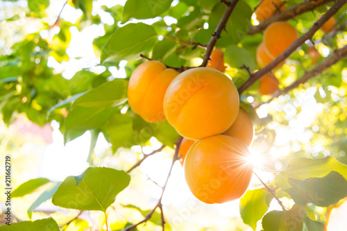 Ripe Sweet Apricot Fruits on Branch among Green Leaves at Warm Sunny Day Canvas Print
