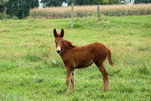A Young Mule Plays In A Pastur...