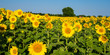Sonnenblumen im Elsass