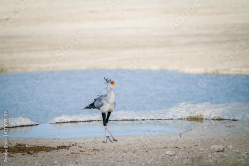 Photo  Secretary bird (Sagittarius serpentarius), crossed legs by waterhole