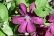 rosa clematis