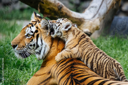 In de dag Tijger Siberian (Amur) tiger cub playing with mother