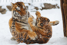 Siberian (Amur) Tiger Cub Playing On The Snow With Mother