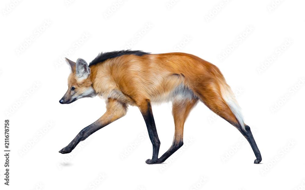 Maned wolf walking isolated